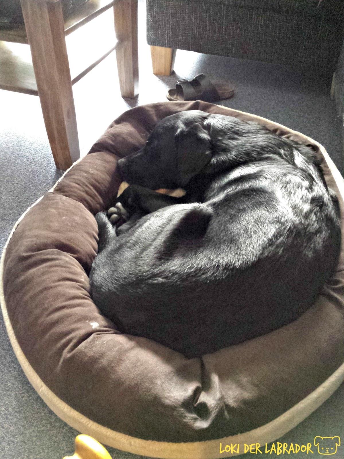 Labrador Loki schläft im Körbchen