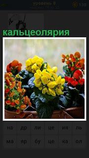стоит в вазе разноцветная кальцеолярия под солнечными лучами