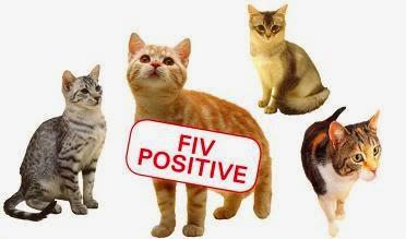 Bệnh suy giảm miễn dịch trên họ mèo.