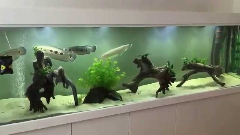 Gambar Channa Pleuropthalma Teman Ikan Arwana Di Akuarium