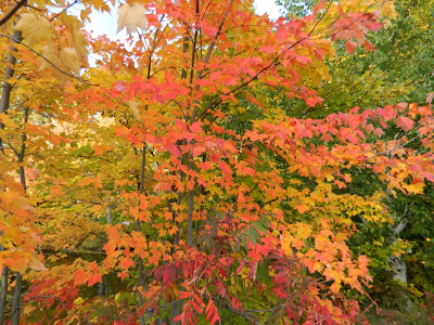 Brilliant autumn maple colours lake muskoka thanksgiving 2012 by garden muses- a Toronto gardening blog