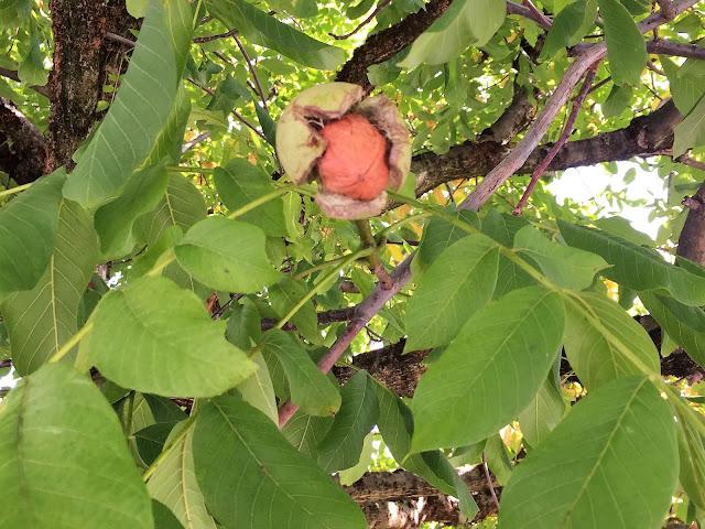 Baumnuss / Walnuss im Baum