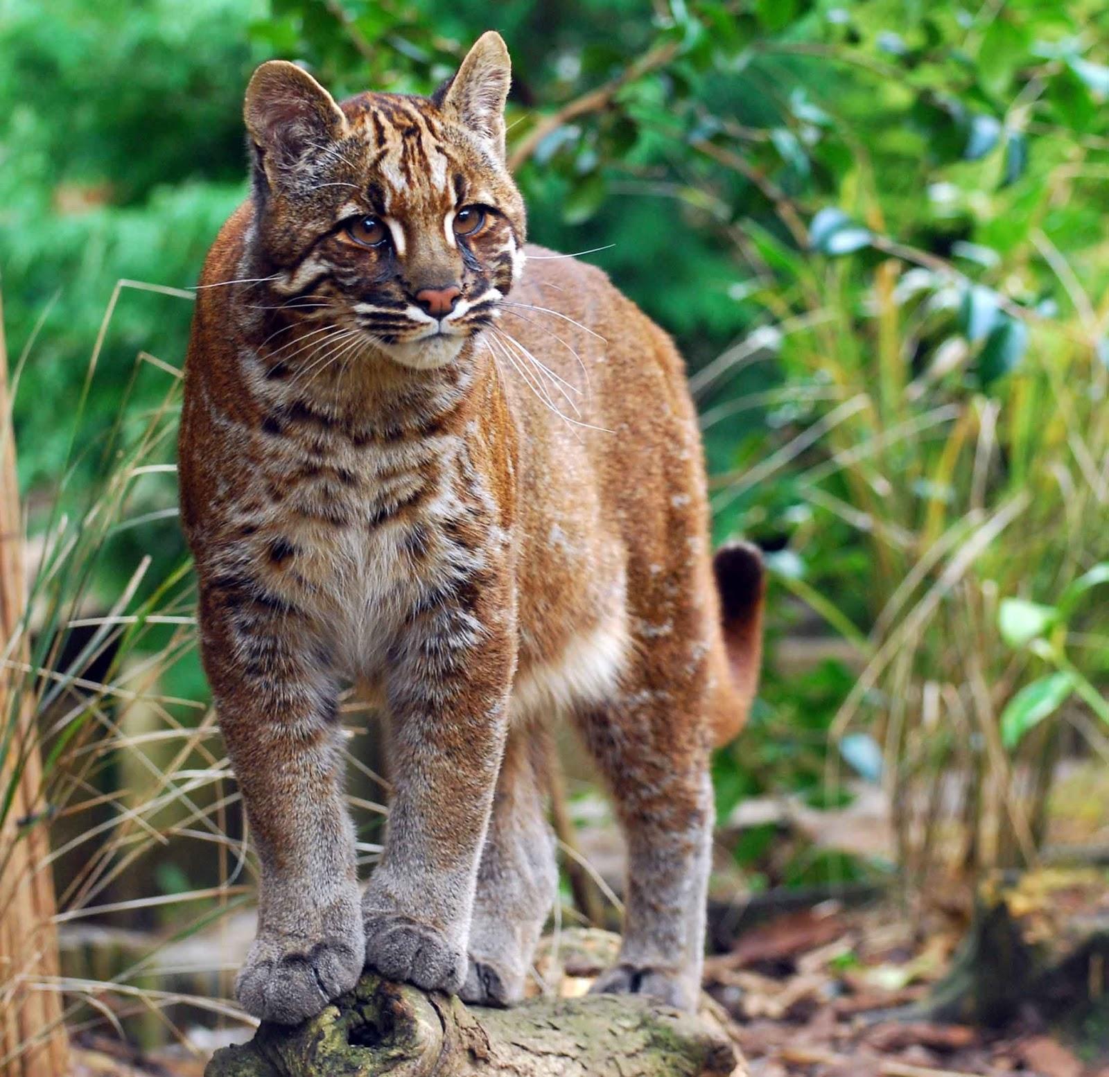 Kucing Merah Khas Kalimantan | Berita Seputar Kucing