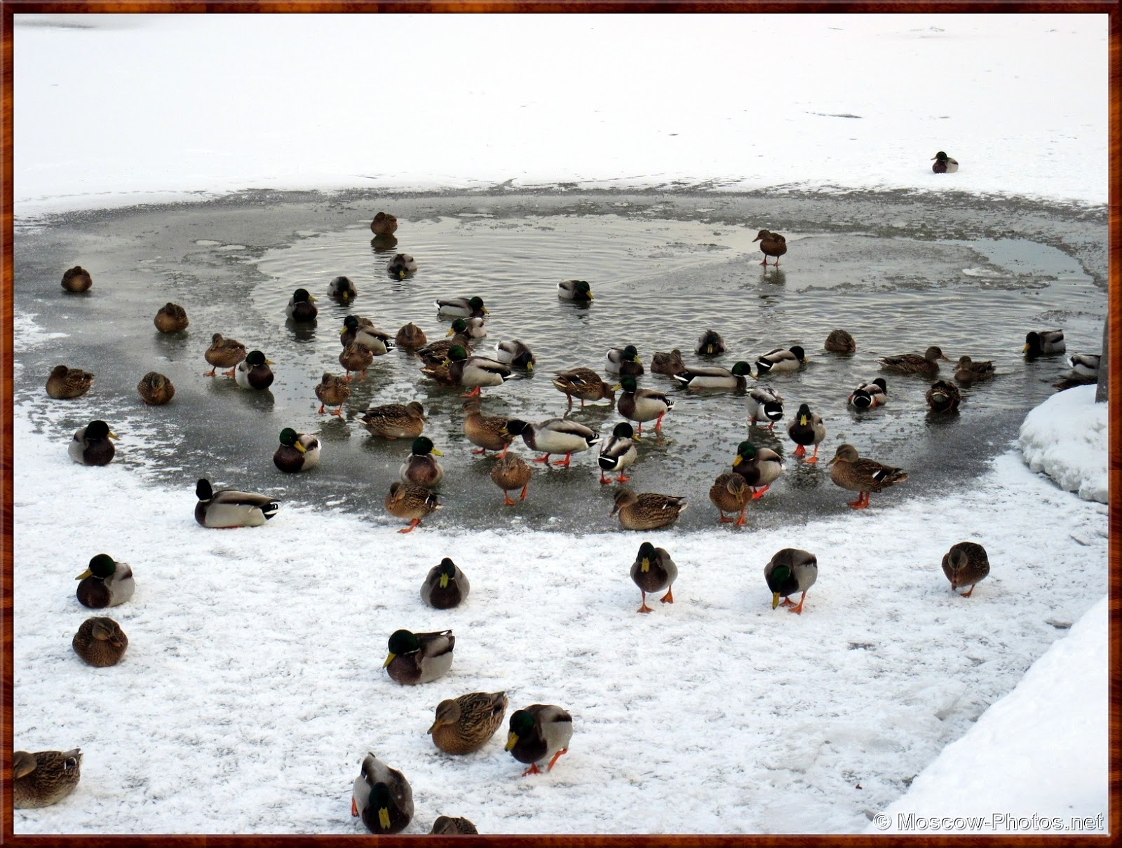 Ducks On The Frozen Moscow River
