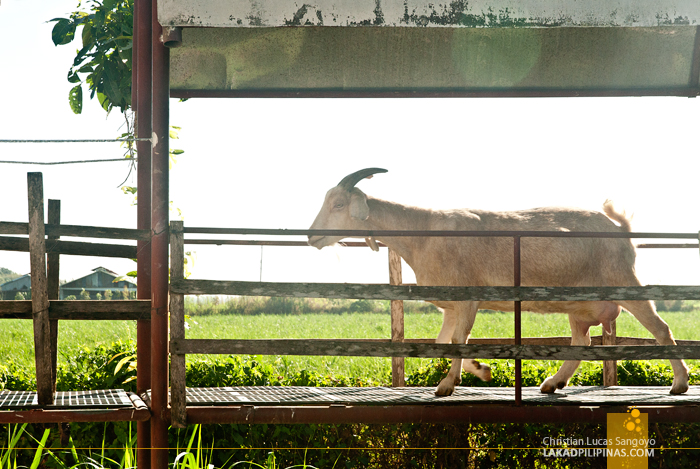 Tarlac JSJ Goat Farm Tour