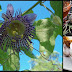 5 Potential Health Benefits Of Passionflower