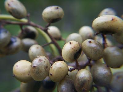 Molle de beber Lithraea molleoides
