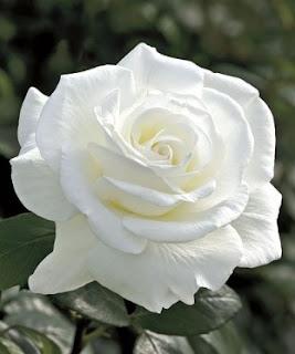 gambar bunga mawar indah 10