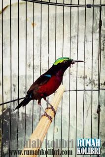 kolibri raja
