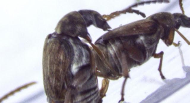 Homosexualidad en los escarabajos