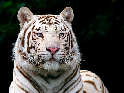 Cute Baby Animals Wallpaper Icon Rose And Photograph Wallpaper Free Download White Tiger