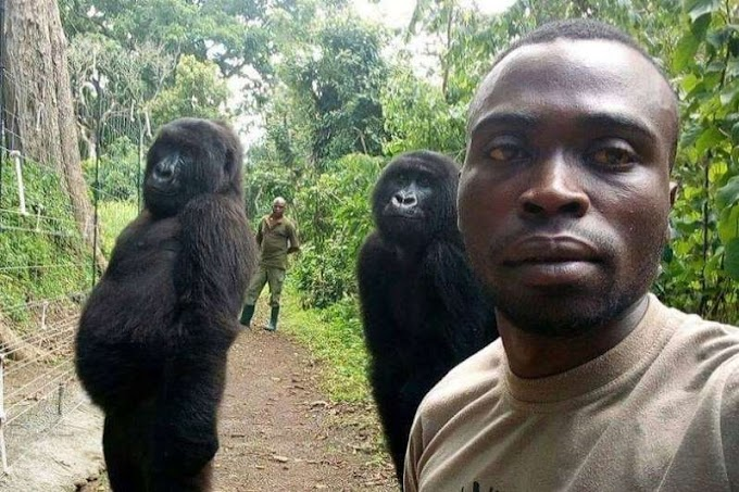 Gorillas pose for amzing selfie with anti-poaching officers
