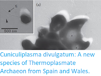 http://sciencythoughts.blogspot.co.uk/2016/05/cuniculiplasma-divulgatum-new-species.html