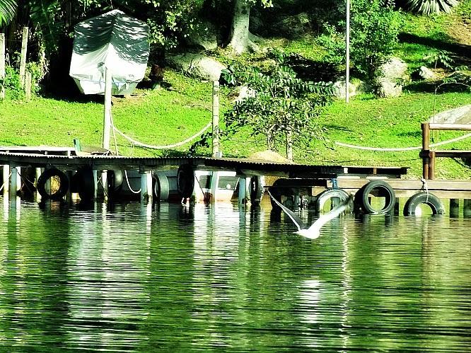 Ave voando em direção a um trapiche, na Costa da Lagoa da Conceição, Florianópolis.