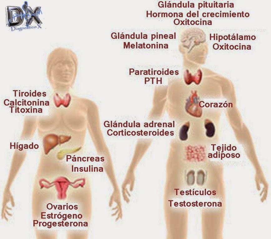 Sistema Endocrino | .