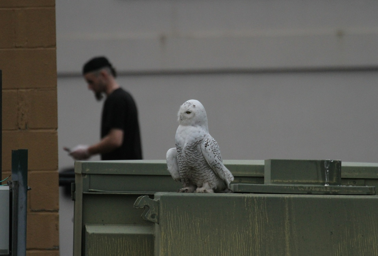 Julie zickefoose on blogspot parkersburgs snowy owl small size and comparatively light barring and im thinking its going on 7 months old knowing that most snowy owls are born in mid may in the arctic biocorpaavc Choice Image