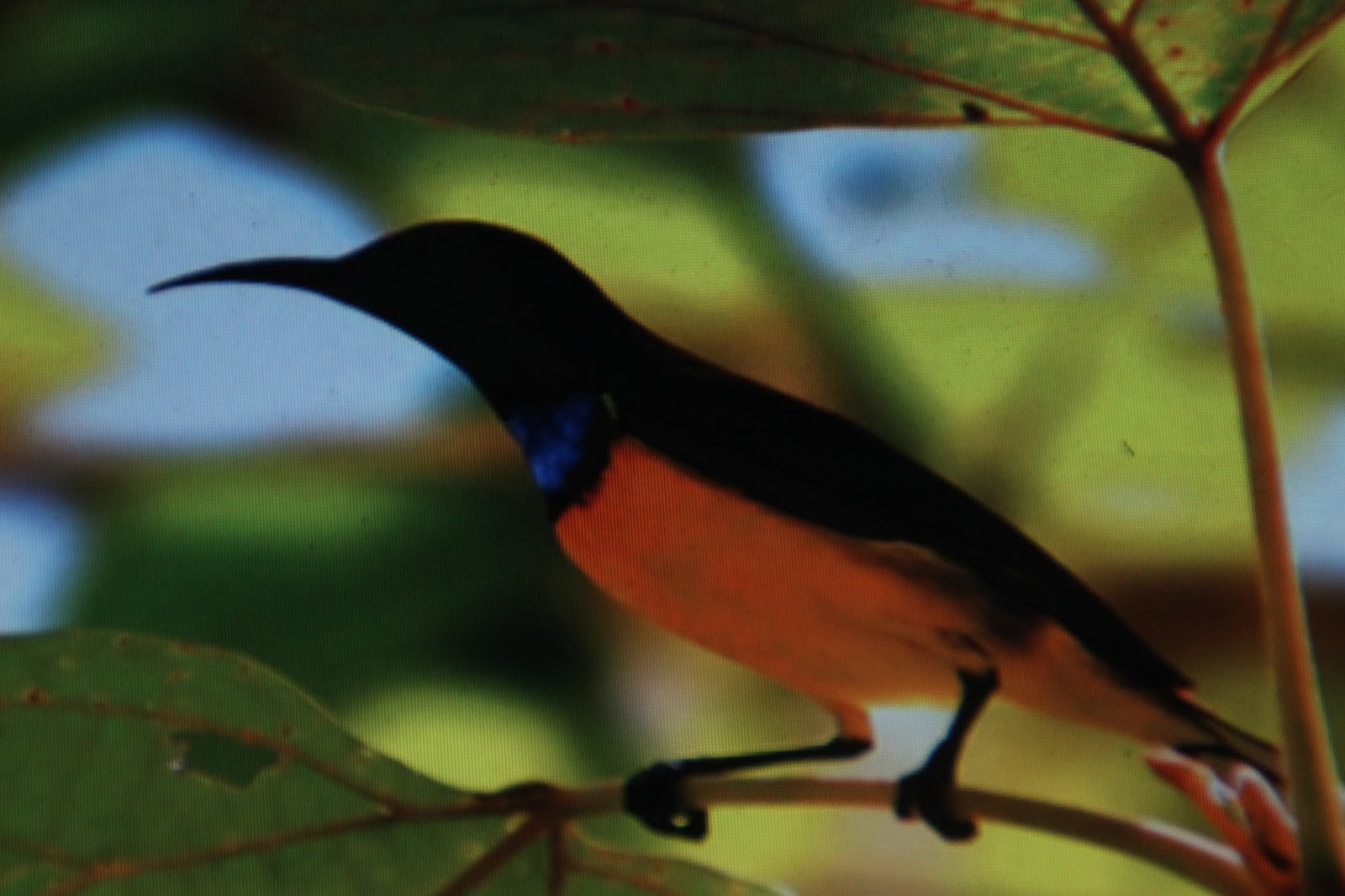 Material Sarang Burung Srigantil Kolibri Kelapa Bagian 01