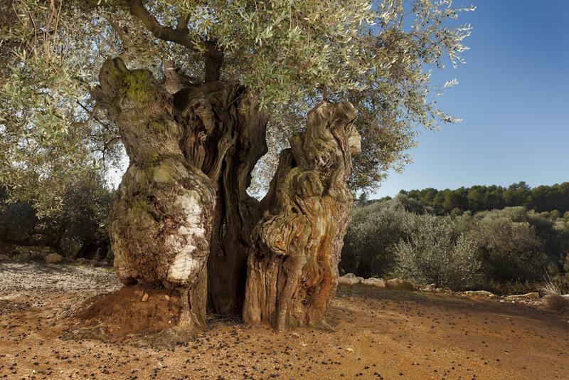 Olivos milenarios de la Taula del Sénia (Territorio del Sénia)