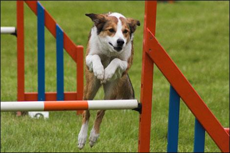 perro saltando la valla entrenamiento de rutina