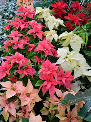 Massed poinsettias Allan Gardens Conservatory  2015 Christmas Flower Show by garden muses-not another Toronto gardening blog