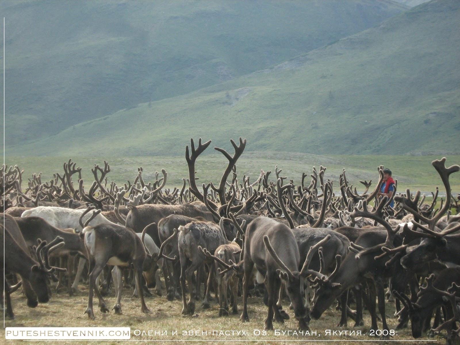 Пастух и его олени