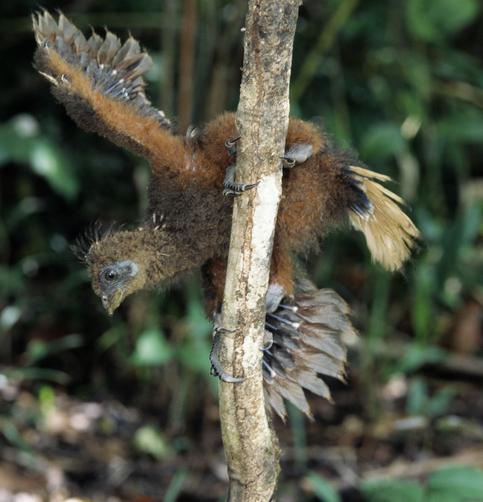 Anak burung Hoatzin mempunyai cakar di kedua sayapnya Anak burung Hoatzin mempunyai cakar di kedua sayapnya