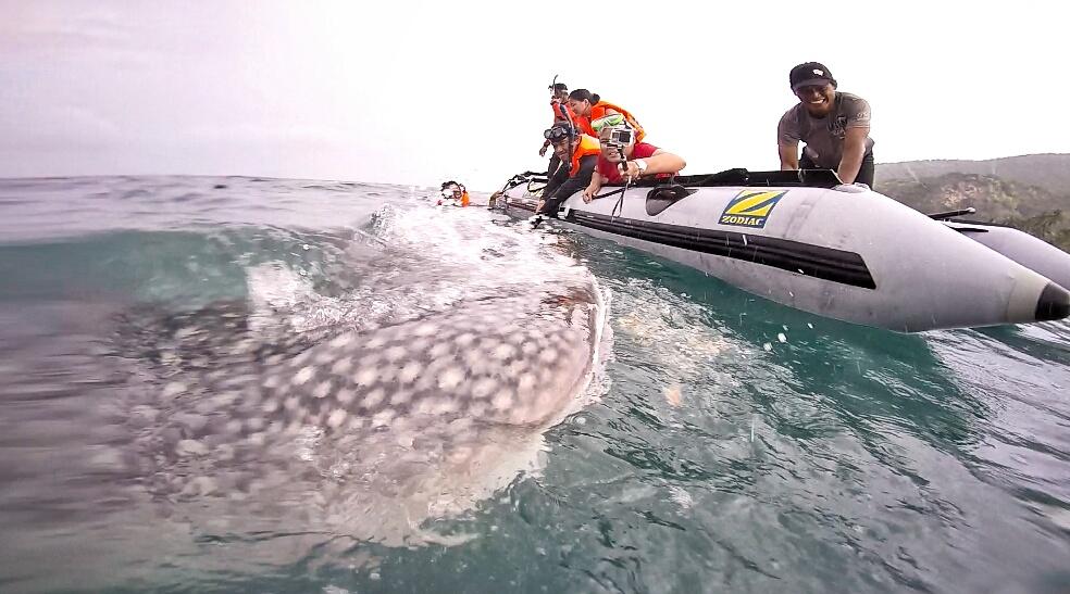 Whale shark Gorontalo