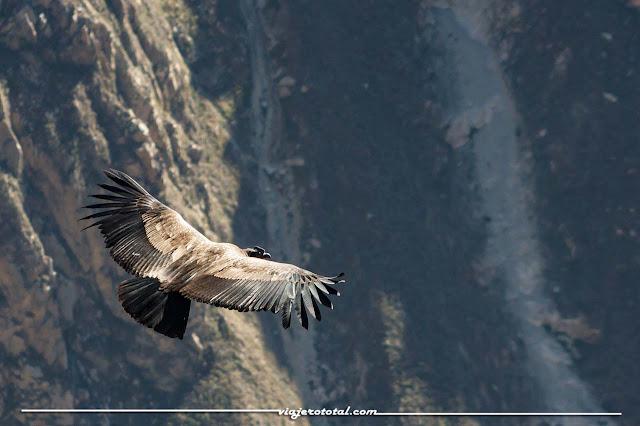 Perú - Valle del Colca - Condor andino