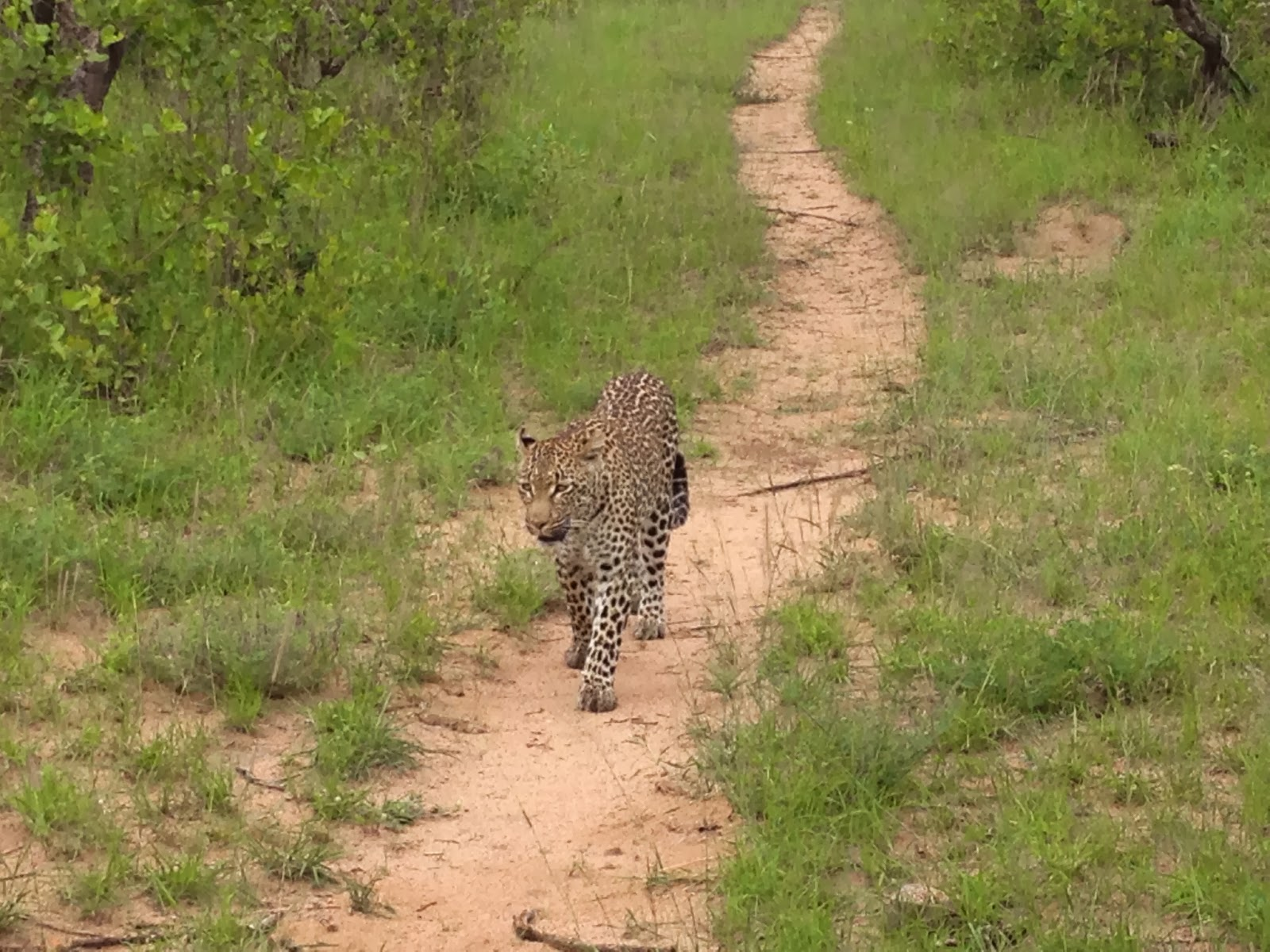 Sabi Sands - Morning game drive day 4: Female leopard spotted