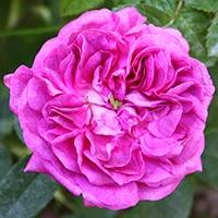 Rose du Maitre d'Ecole (Rosa gallica)
