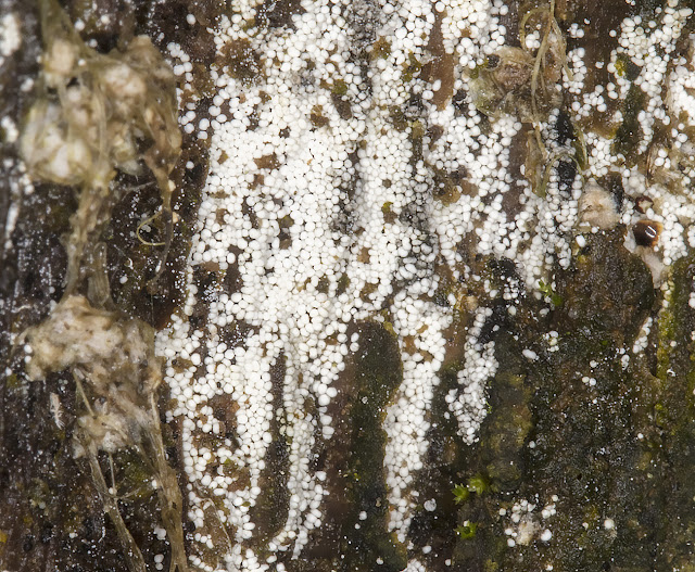 Myxomycete.  Trichia species.  Hayes Common, 18 November 2016.