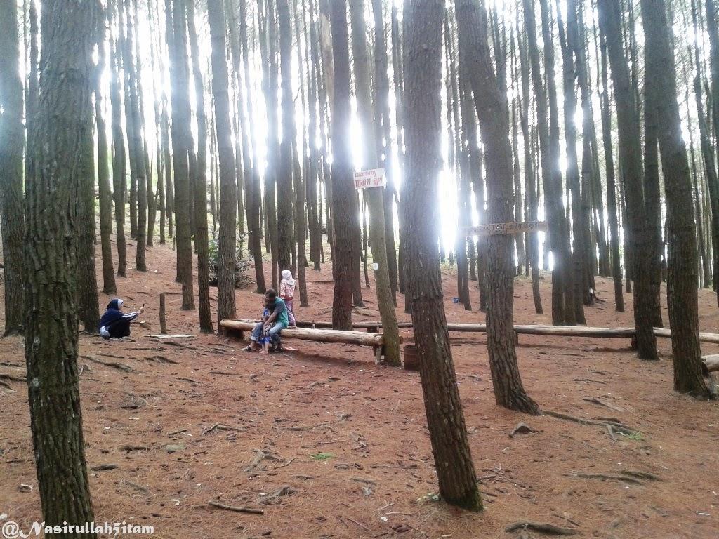 Pohon-pohon Pinus menjulang tinggi