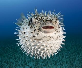 Ikan Buntal, Vertebrata paling beracun yang dikonsumsi Manusia