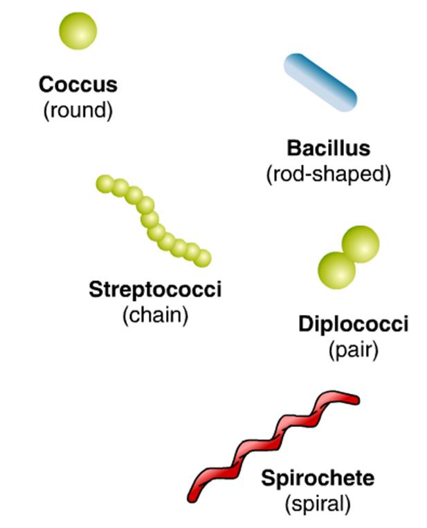 Coccus  round   Bacill...