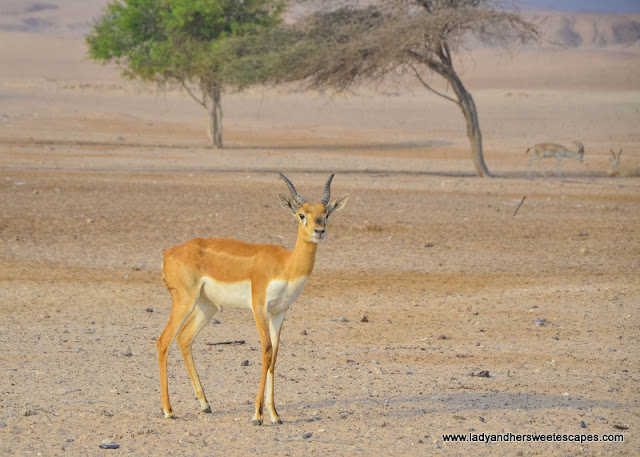 wildlife photography in Sir Bani Yas