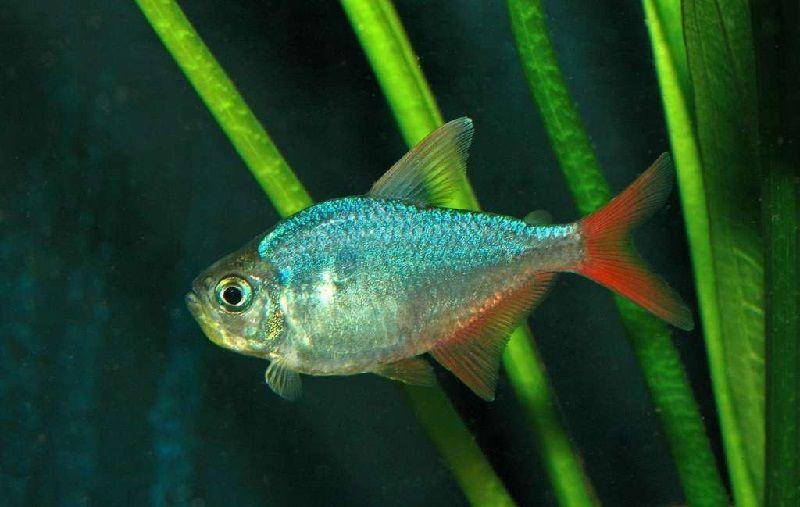 56. Jenis Ikan Hias Aquascape Colombian Tetra