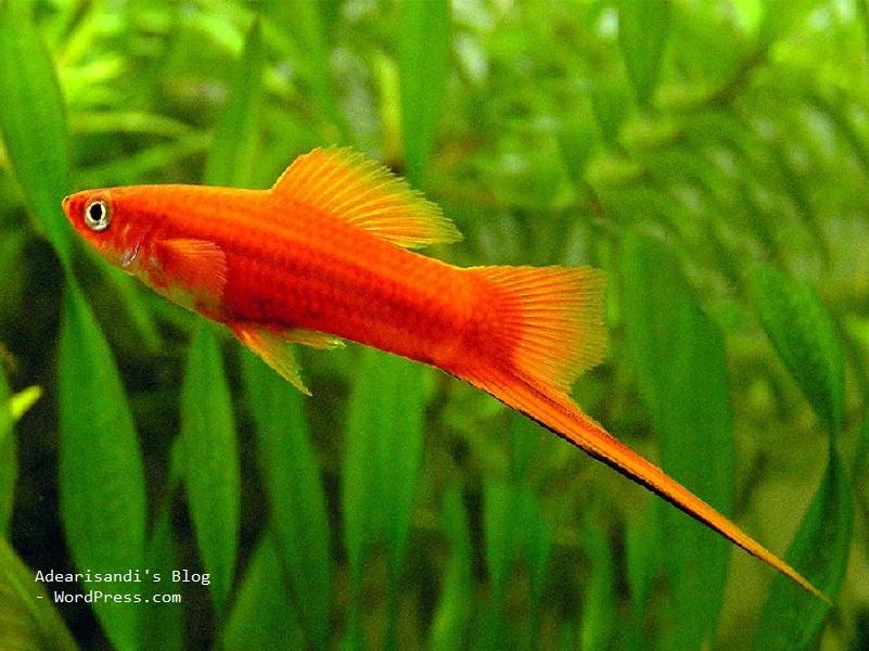 ikan platy pedang