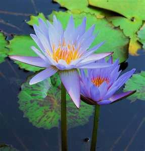 Lotus Blossoms, Ideas, and Time