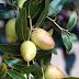 What is Bidara Fruit? - Bidara fruit is also known as Jujube fruit