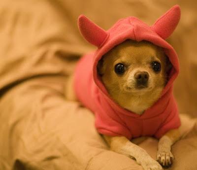 Salud Perro Chihuahua