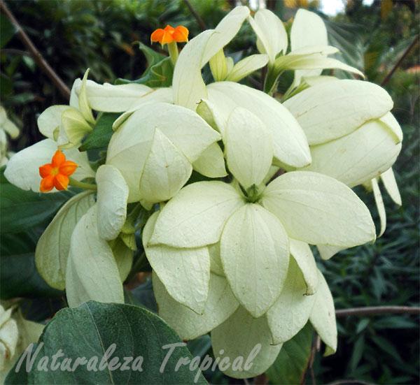 Flores y sépalos de una especie de Mussaenda