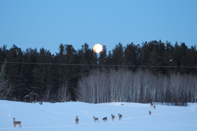 Deer in a snowy field under full moon