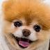 Boo, le chien le plus mignon du monde, n'est plus