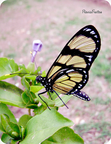 arvore manaca jardim : arvore manaca jardim: manacá-de-cheiro e atraia borboletas à varanda e ao jardim
