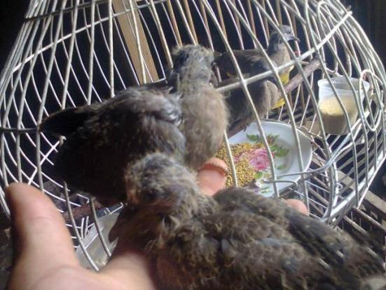 Cách nuôi chim cu gáy chi tiết cho người mới chơi