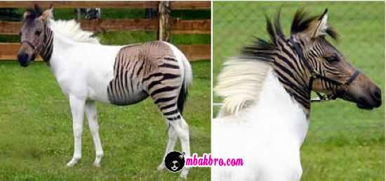 artinya yaitu hasil persilangan antara dua binatang atau tumbuhan yang berlainan jenis 5 Hewan Hybrid Ini Asli Atau Palsu?