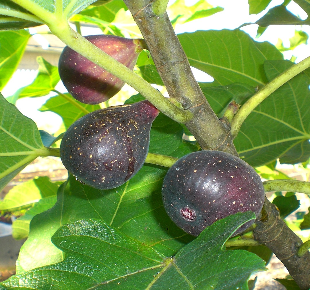 symbolism in ripe figs Ripe plantain dream meaning jump down to read the meanings now, also read individual symbolism of ripe, plantain, and also use synonyms in search engine of dreams' dictionary, that is for proper understanding of meanings' interpretations for dream about ripe plantain.