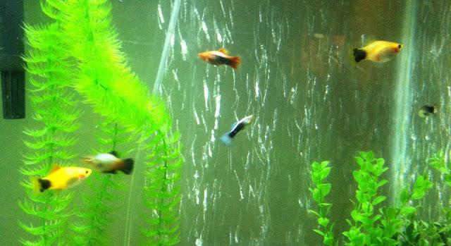 Cara Mudah Budidaya Ikan Molly
