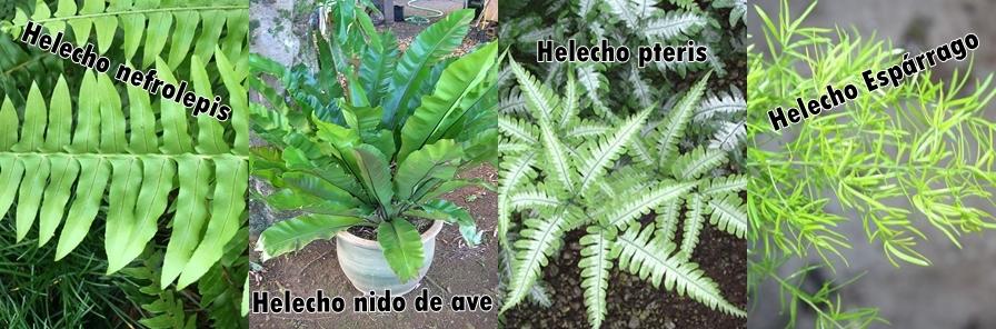 675e09442c Entre plantas y macetas  Características y cuidados del Helecho ...