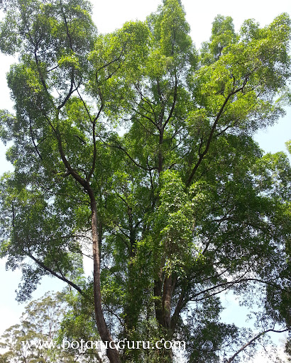 Fagraea fragrans, Tembusu, Ironwood tree